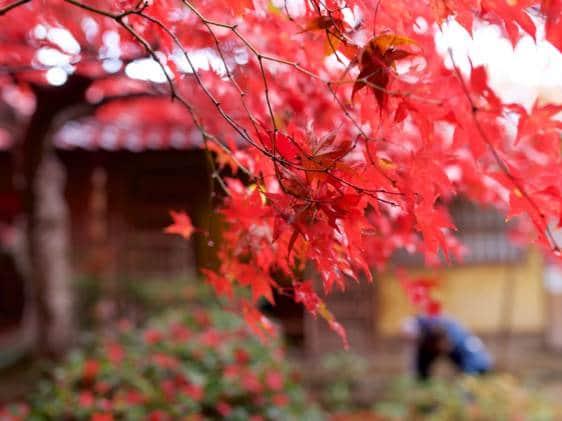 maple leaves osaka